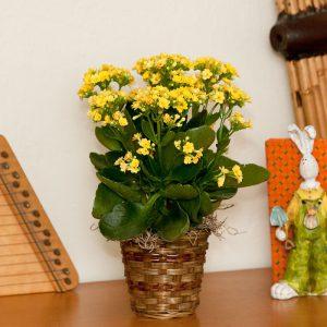 yellow-kalanchoe-pot