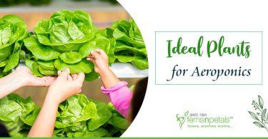 Ideal-Indoor-Plants-for-Aeroponics