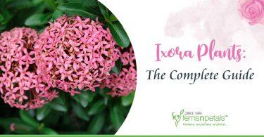 Ixora-plants-complete-guide