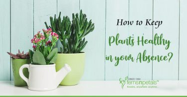 Plants-Healthy-in-your-Absence